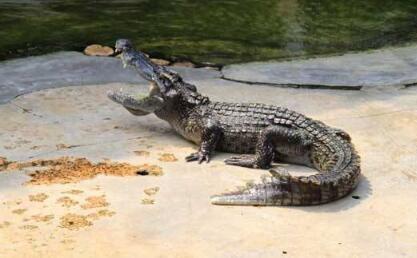 2020鳄鱼养殖成本和利润分别为多少呢?
