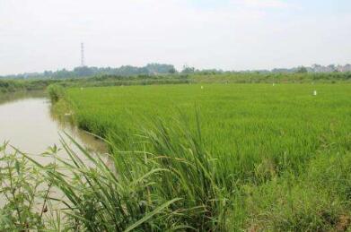 稻田怎么养殖小龙虾,有什么技巧吗?