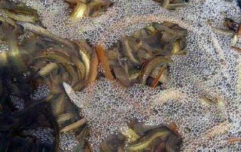 2021泥鳅养殖技术有哪些新型模式?