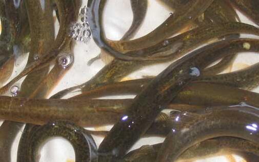 现在养殖泥鳅有哪些主要模式?