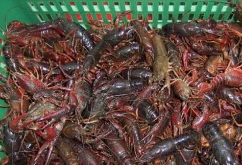 小龙虾生长周期多长(一年12个月周期表)
