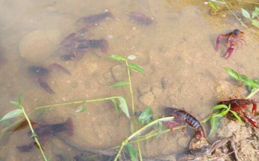 养龙虾一亩地纯利多少钱?