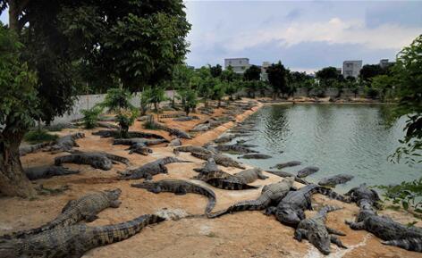 养殖鳄鱼大概投资多少钱?