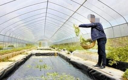 温室大棚应该如何养殖泥鳅?