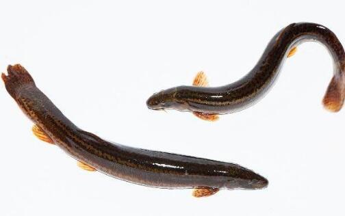 温室大棚反季节养殖泥鳅效益高吗?