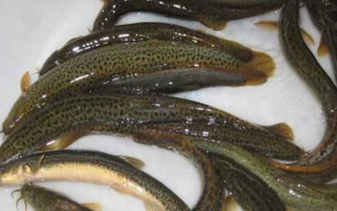 现在大棚怎么养殖泥鳅?