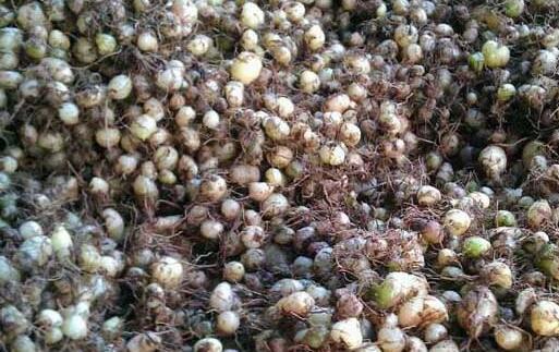 白芨种子多少钱一斤?
