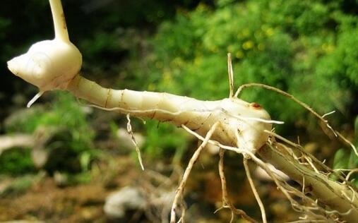 黄精什么时候种植好?