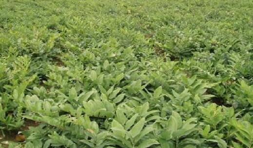 黄精一亩用多少斤种子?