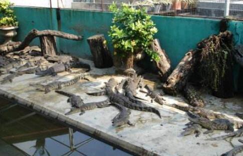 2020养殖100条鳄鱼要多少钱真实数据分析?
