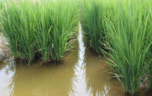 在池子里种水稻养泥鳅可以吗?