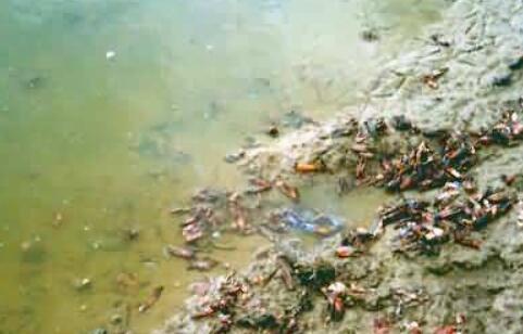 现在龙虾种苗多少钱一斤?