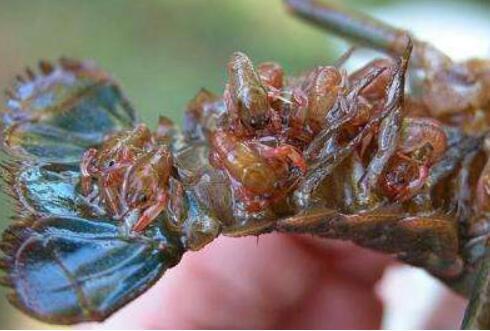 十亩龙虾种苗要多少钱?
