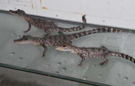 养殖鳄鱼大概投资多少钱合适?