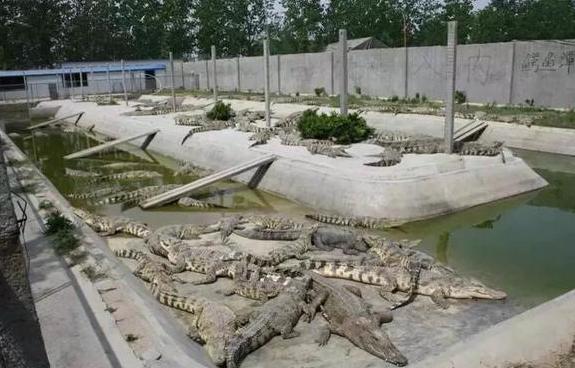 人工养殖鳄鱼要投入多少成本?
