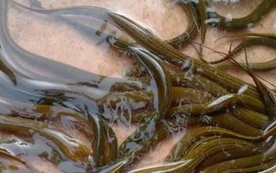 黄鳝适合在什么条件下养殖?