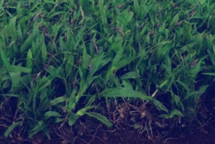 白芨种植一亩成本价是多少?