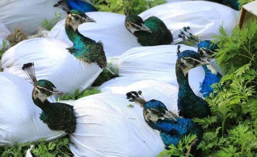 2020蓝孔雀苗多少钱一只?