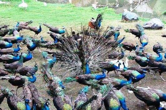 2020蓝孔雀养殖要投资多少钱合适?