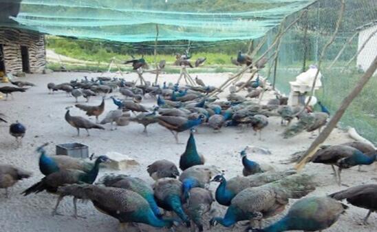 孔雀到底要怎么养殖?