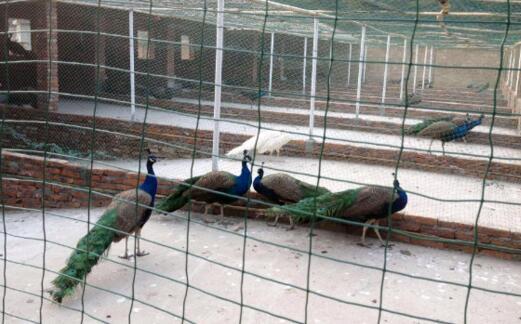 蓝孔雀养殖利润有多少?