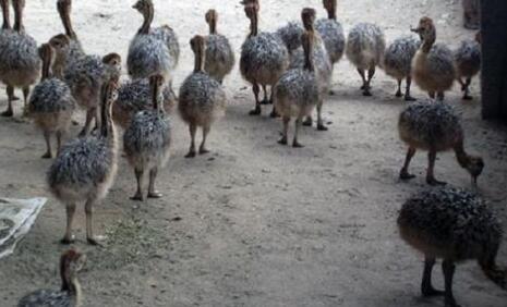 人工养殖的孔雀主要吃什么食物?
