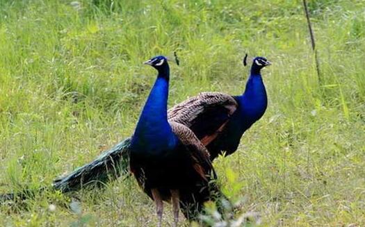 2020蓝孔雀养殖新技术都有哪些?