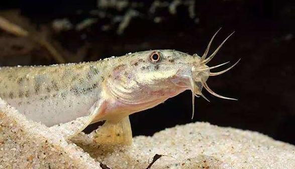 泥鳅养殖技术怎么养能养好