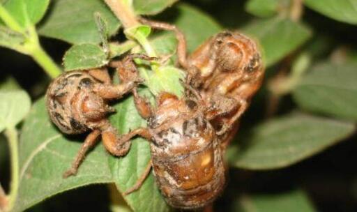 金蝉变知了还能吃吗?