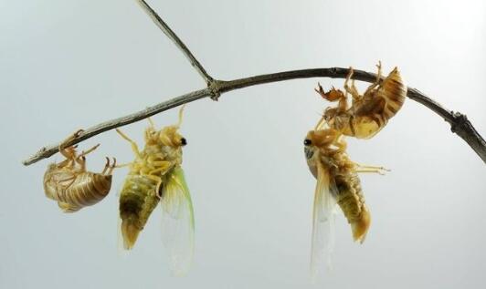 经常吃金蝉的危害有哪些?