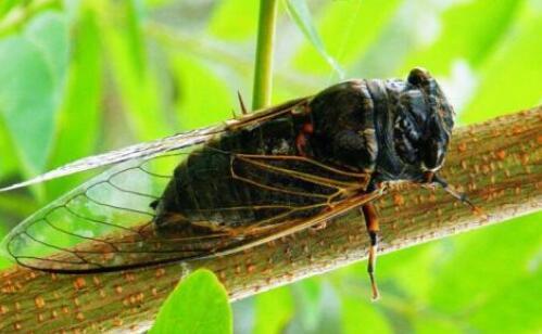 大棚里可以养殖金蝉吗?