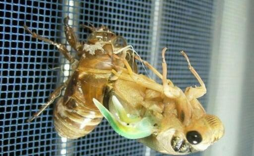 吃金蝉的危害有哪些?