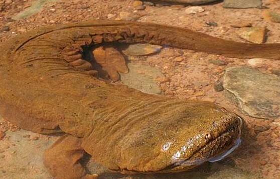 蝾螈和大鲵的科属区别有什么不一样?