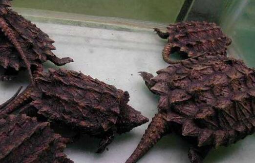 养鳄龟一般都有什么禁忌?