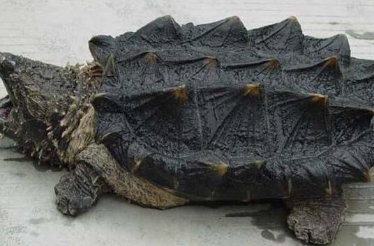 现在养殖小鳄龟需要办什么证吗?