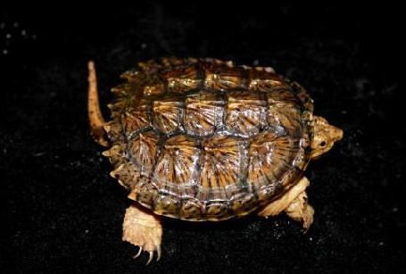 养殖鳄龟哪个品种比较好养?