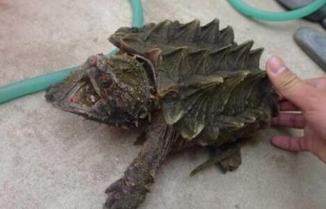 自己养殖的鳄龟会咬人吗?