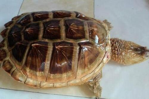 现在鳄龟多少钱一只?