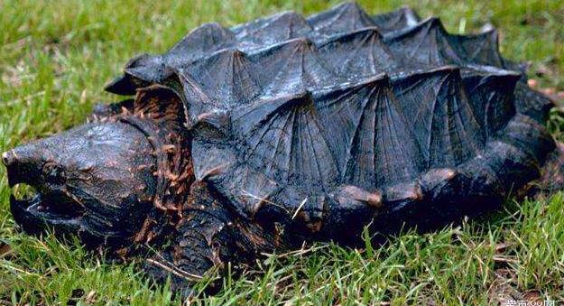 鳄鱼龟发展人工养殖的技术有哪些?