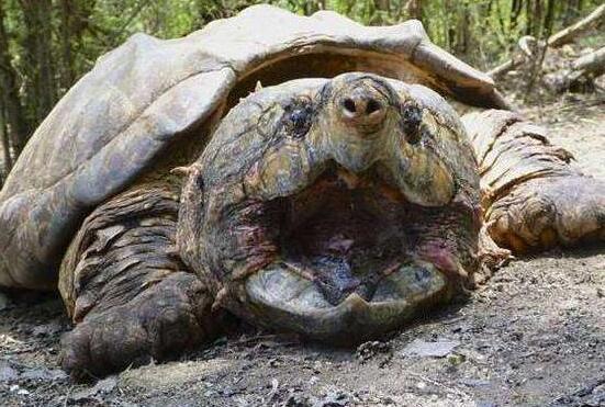 大鳄龟和佛鳄龟哪个比较凶?