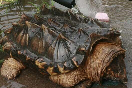 鳄龟怎么分公母有什么简单方法?