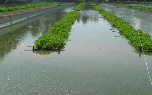 泥鳅的繁殖季节是什么时候?