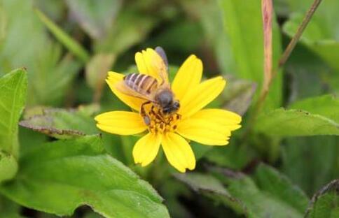 蜜蜂自然分蜂一年有几次?
