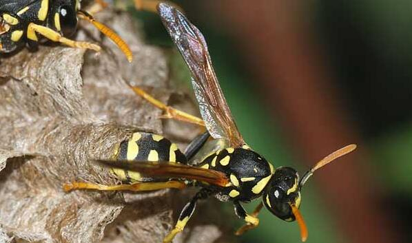 胡蜂和马蜂的区别哪里不一样?
