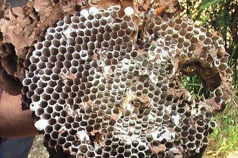 马蜂窝和蜜蜂窝如何辨别?
