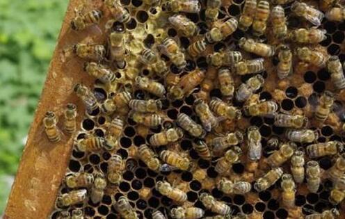 蜜蜂窝功效与作用有哪些?