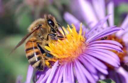 黑大蜜蜂人可以养吗?