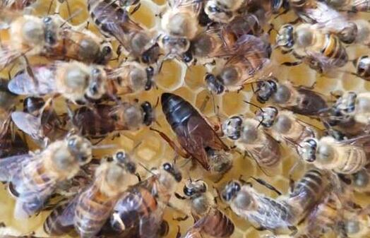 蜜蜂吃什么长大的?