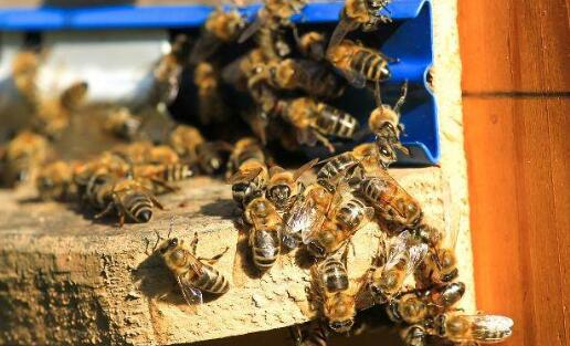 中蜂分蜂时间是什么时候?