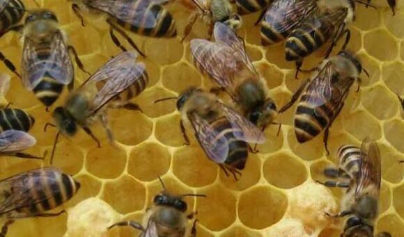 如果蜂王死了蜂群要怎么办?